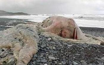 Il blob marino