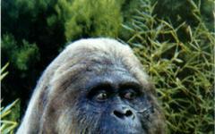 Bigfoot è un fossile vivente
